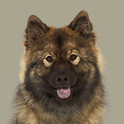 Bjanka_Eurasier_SOME.jpg