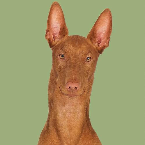 Fine Art Print · Project 100 Dogs · Diablo the Pharaoh Hound