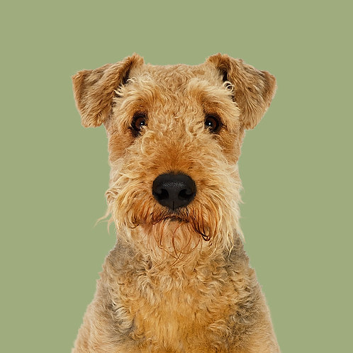 Fine Art Print · Project 100 Dogs · Rusty the Airedale Terrier