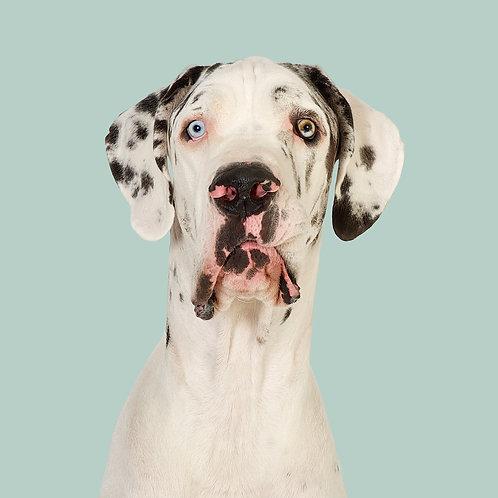Fine Art Print · Project 100 Dogs · Dæå the Great Dane