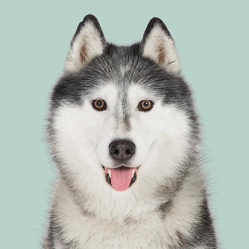 Fine Art Print · Project 100 Dogs · Sanasok the Siberian Husky
