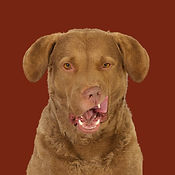 Skipper_Chesapeake_Bay_ Retriever_SOME.j