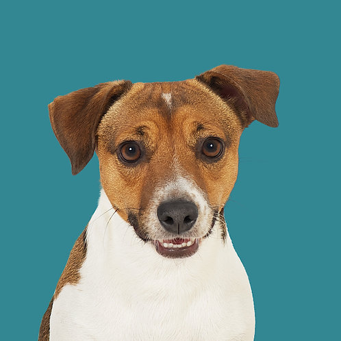 Fine Art Print · Project 100 Dogs · Toby the Jack Russel Terrier