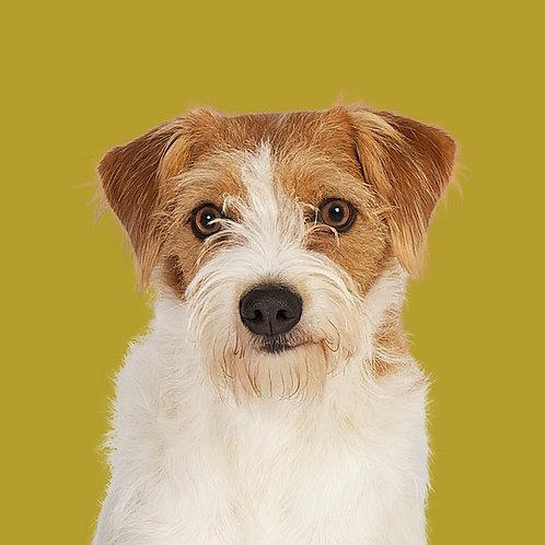 Fine Art Print · Project 100 Dogs · Pippi the Kromfohrländer