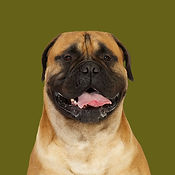 Emmet_Bullmastiff_SOME.jpg