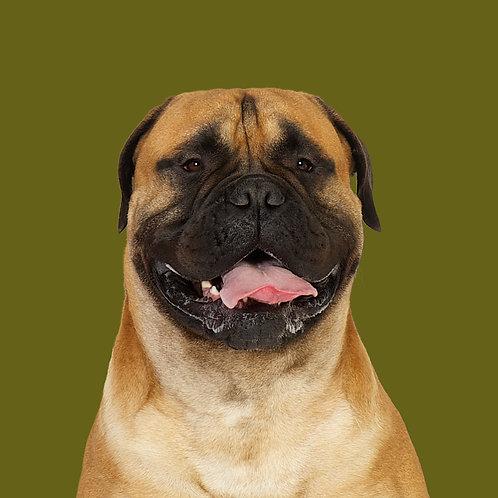 Fine Art Print · Project 100 Dogs · Emmet the Bullmastiff