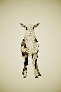 Animal Series Lamb small file Wix Galler