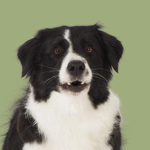 Fine Art Print · Project 100 Dogs · Nuggi the Border Collie
