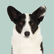 Ludvig_Welsh_Corgi_Cardigan_SOME.jpg