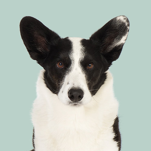Fine Art Print · Project 100 Dogs · Ludvig the Welsh Corgi Cardigan