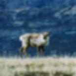 Reindeer WIX.jpg
