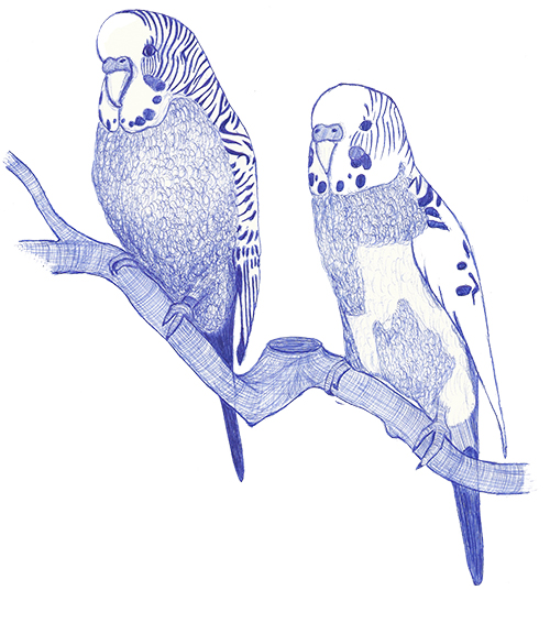 Initial sketch of the budgerigars