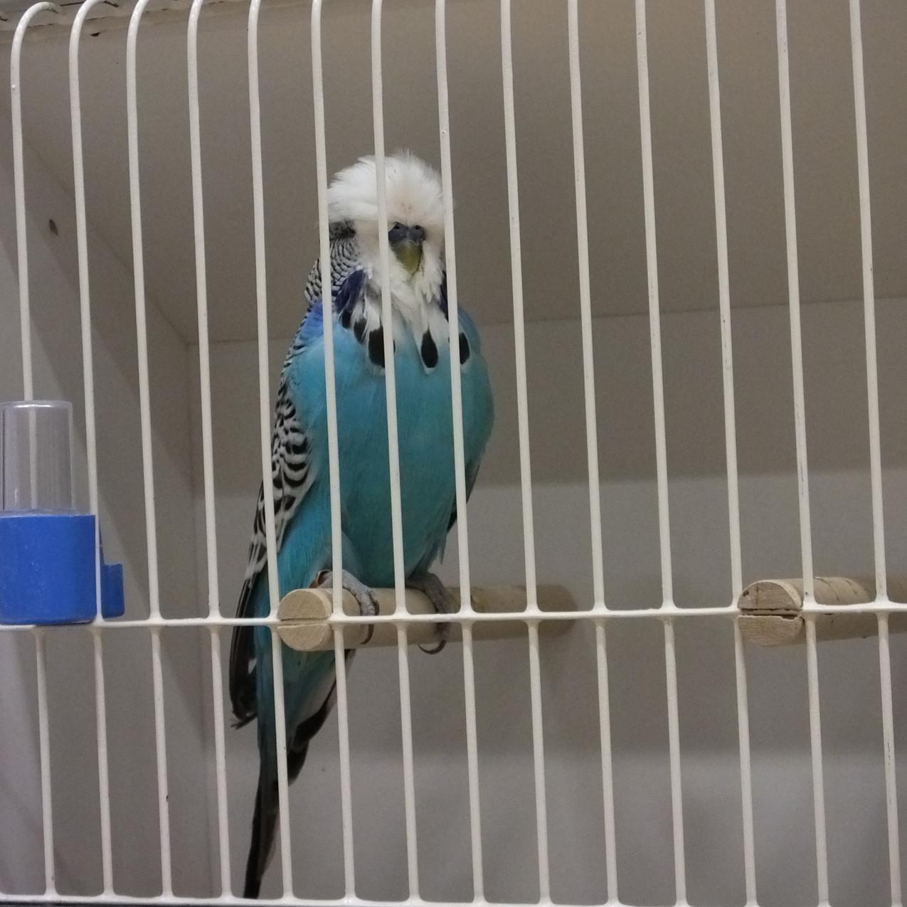 Budgerigar Society show bird