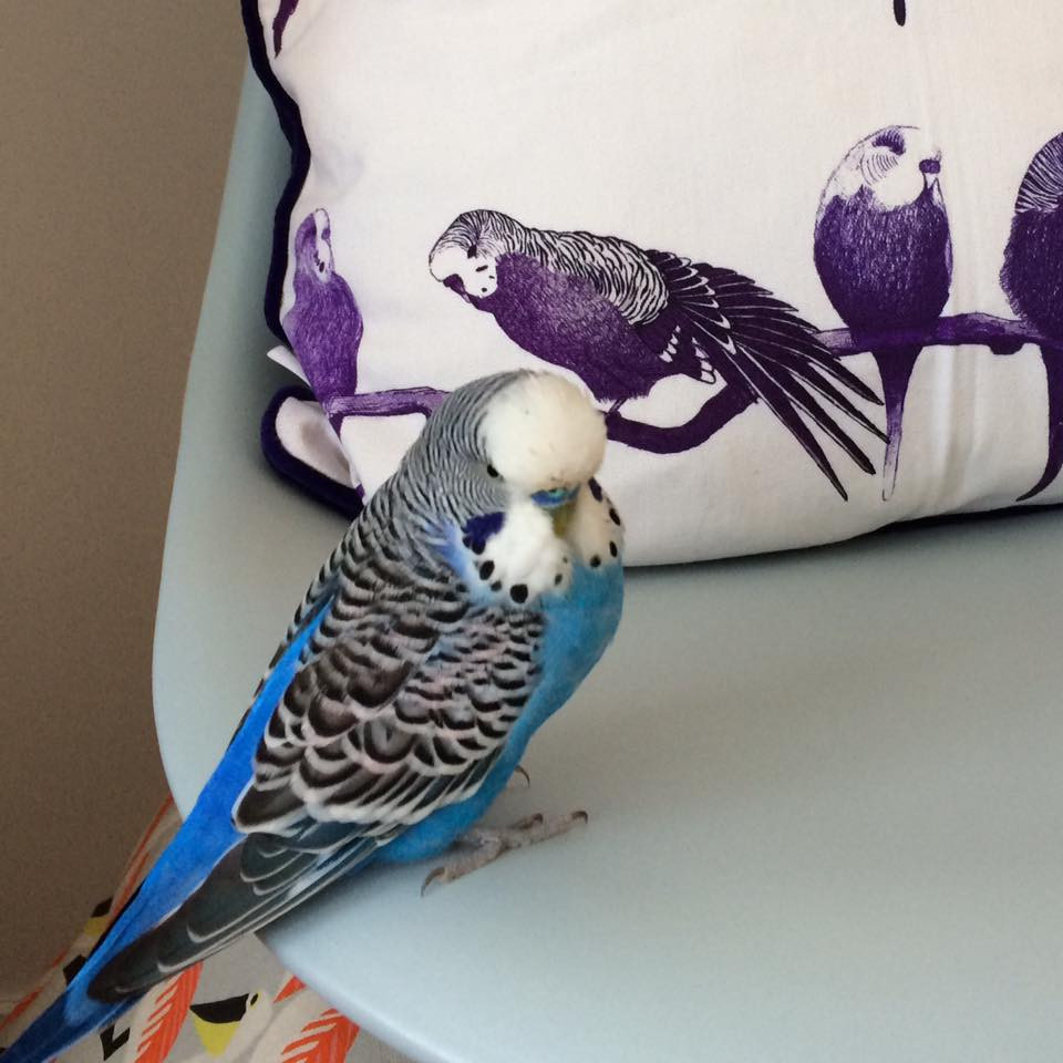 Pippy the Budgie Bird striking a pose next to a Jenny K Home budgie cushion