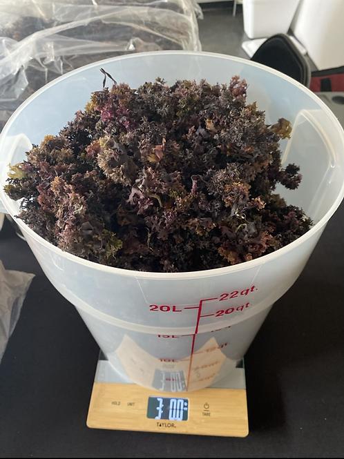 1 pound of Chondrus Crispus sea moss