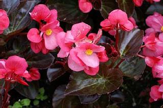 Sobre flores comestíveis