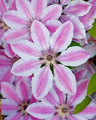 clematis-flowers.jpg