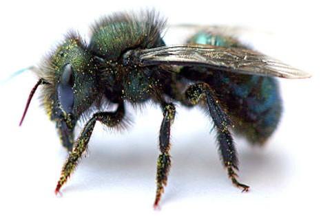 The ABC's of Mason Bees