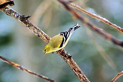 yellow-winter-finch-goldfinch-finch-feat