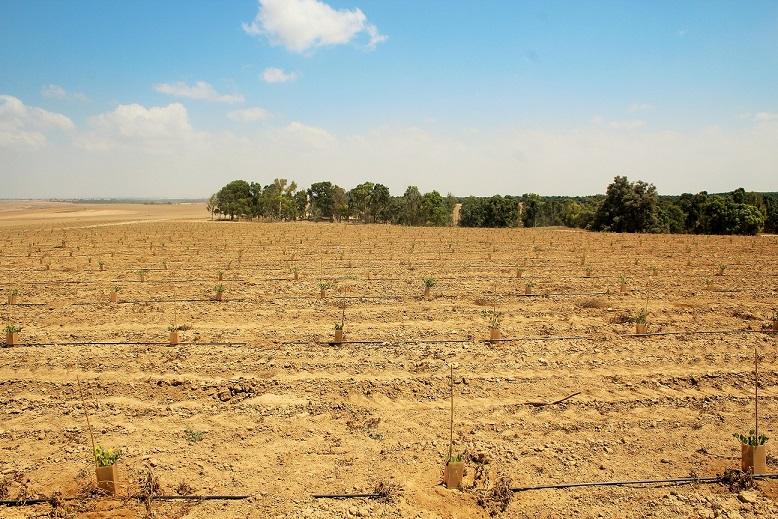 שדות החוחובה שנשתלו