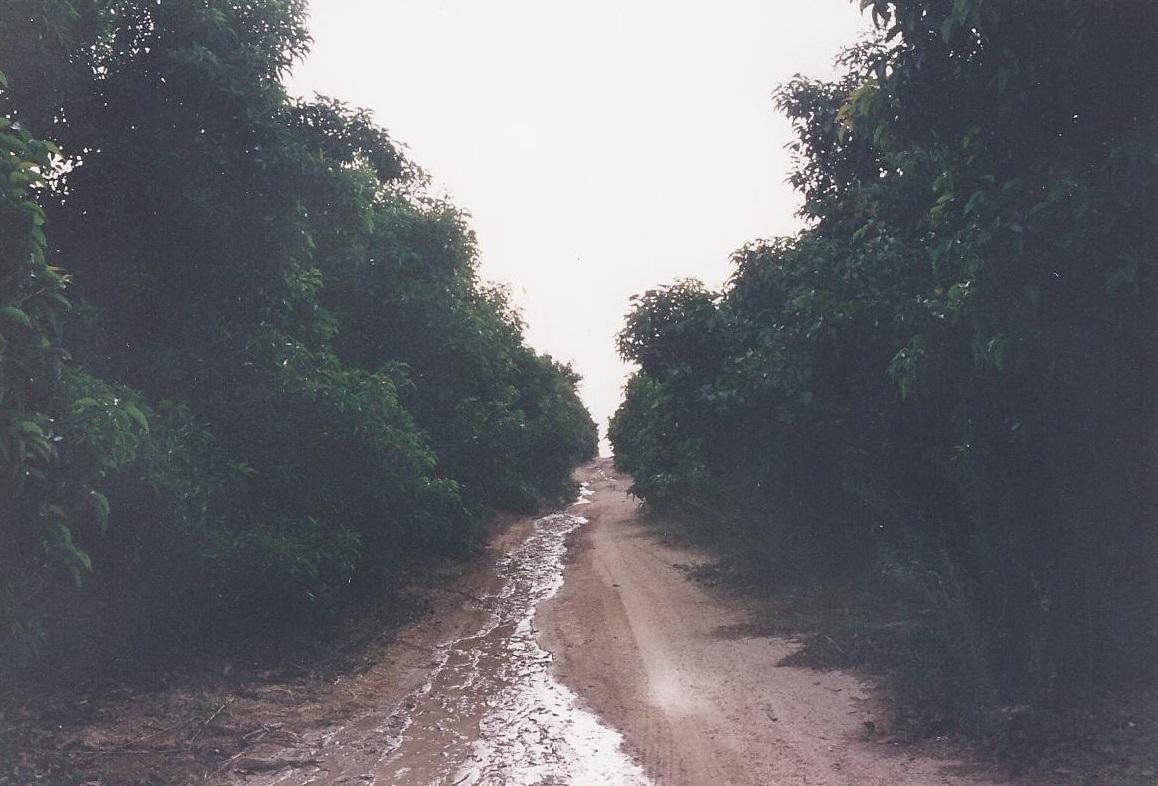 גשם במטעי האבוקדו
