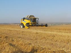 קצירת החיטה בשדה