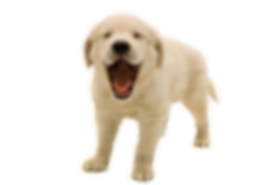 Golden-Retriever-Puppy-PNG-Transparent-I