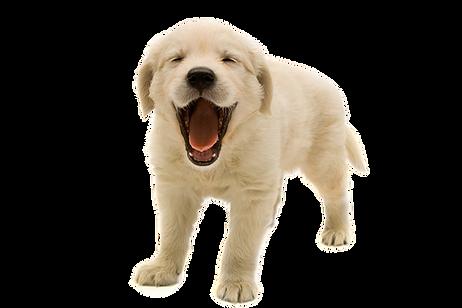 Golden-Retriever-Puppy-PNG-Transparent-I