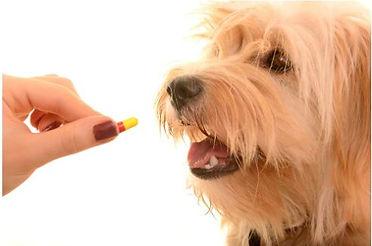 dog taking pill.JPG