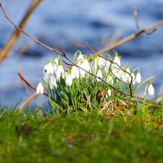 Snowdrops, River Earn
