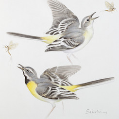 Grey-Wagtail-Square 8 x 8 inches