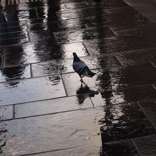 Glasgow Pigeon