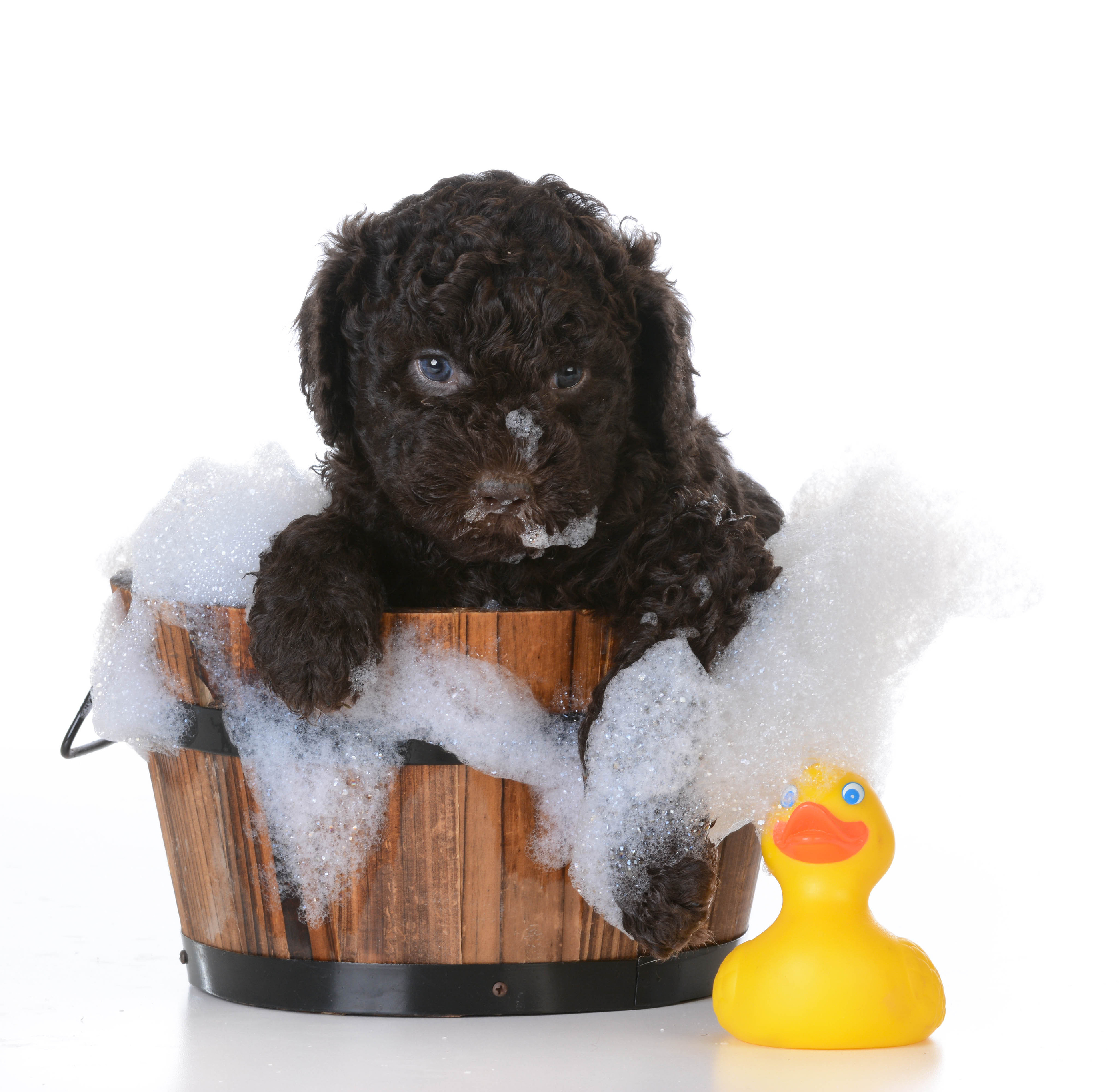 dog bath - barbet puppy getting a bath on white background