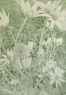 Flannel%20Flowers_edited.jpg