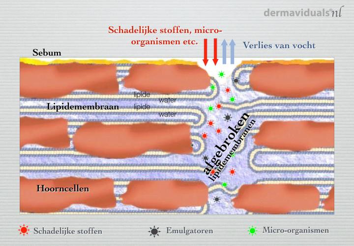 beschadigde huidbarrière, afgebroken lipidemembranen, lipidemembraan, emulgatoren, hoorncelle,huidbarrière van gevoelige huid