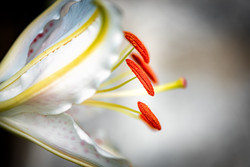 Day Lily Anthers