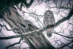 Offset Owl