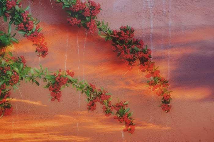 Sunset Berries