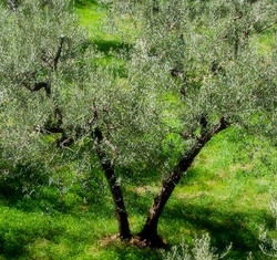 Assisi Olive Tree
