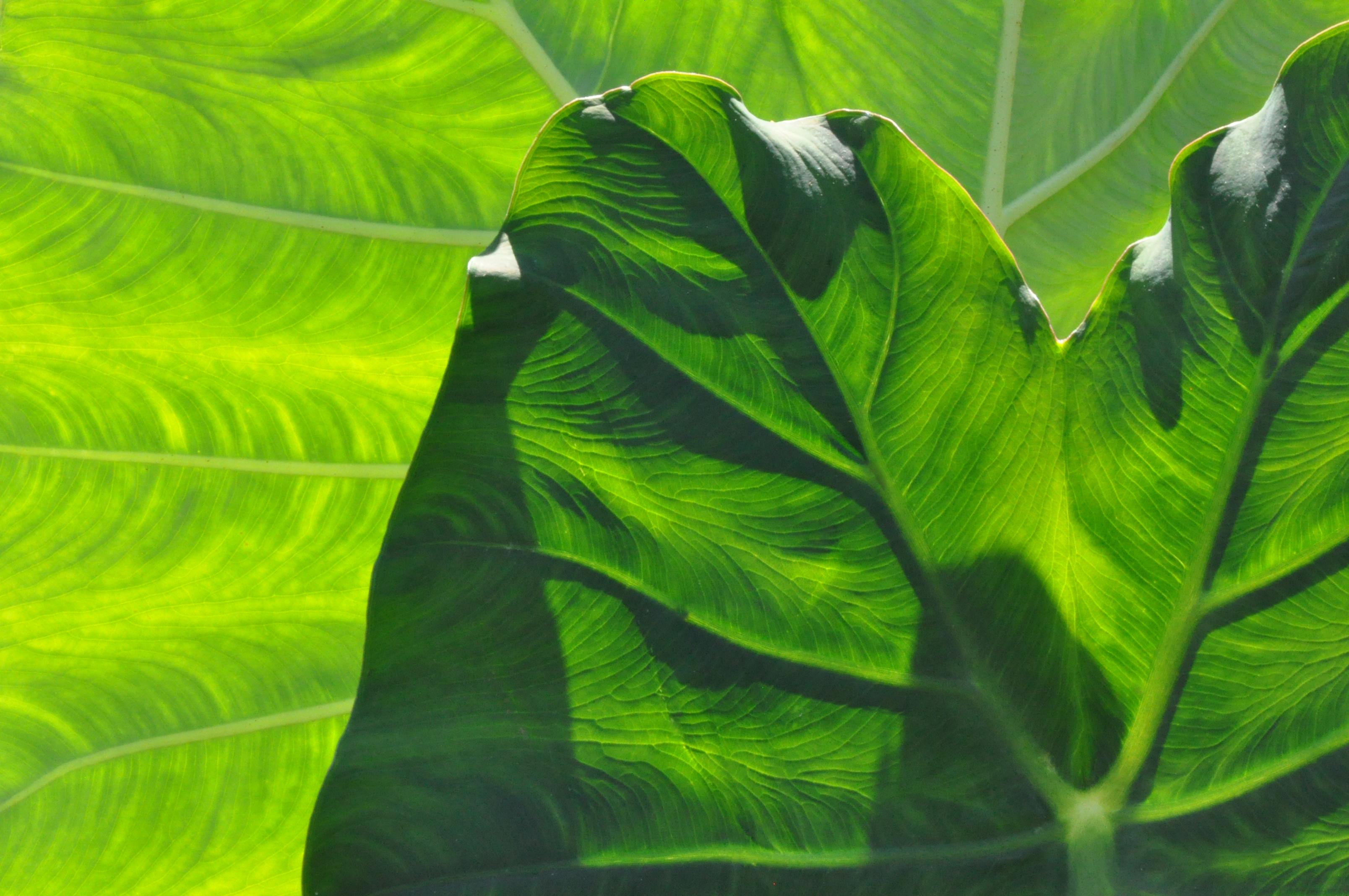 Padua Leaves