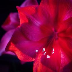 Amaryllis Purple Glow