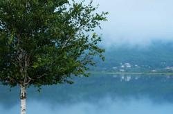Misty Blue Birch