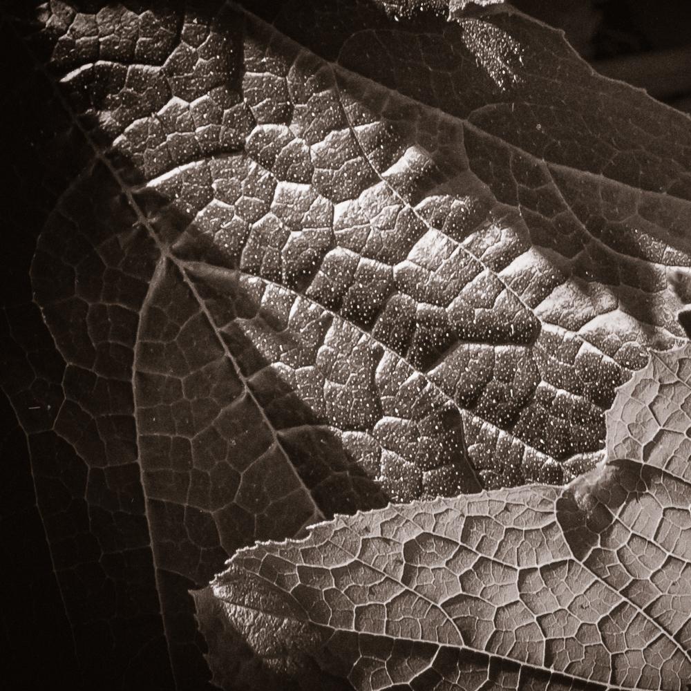 Sepia Garden Leaves