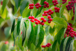 Winterberry Reds and Greens