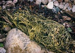 Seaweed Clump