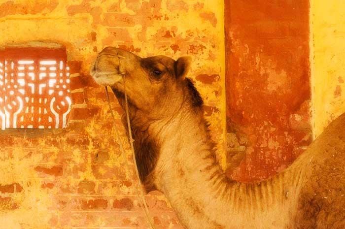 Bikaner Yellow Camel