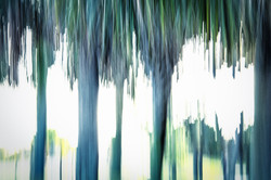 Ragged Palms