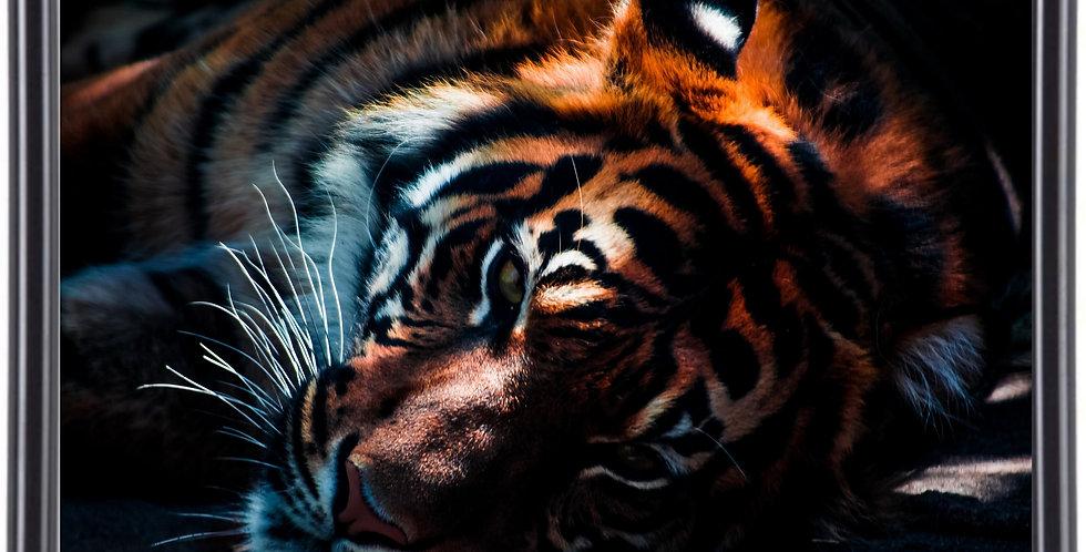 Affiche illustration Tigre 309