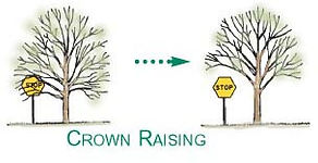 crown raising