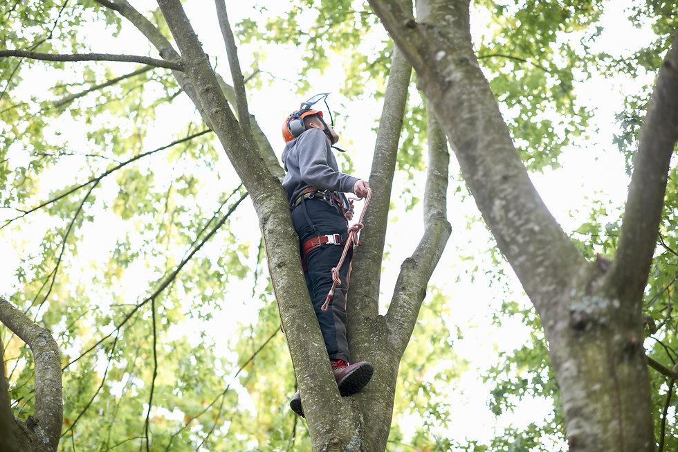 Tree surgeon assessing a tree.jpg